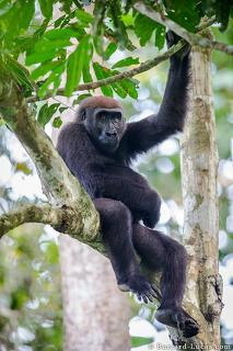Gorilla in a Tree