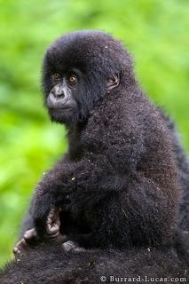 Baby Gorilla on Mother