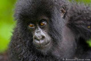 Gorilla close up
