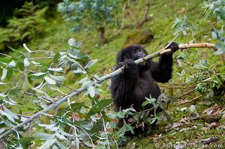 Gorilla Eating Branch