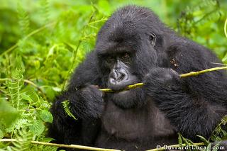 Adult Gorilla Eating a Fern
