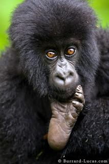 Baby Gorilla and Foot