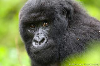 Gorilla Looking