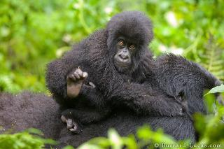 Gorilla Riding its Mother