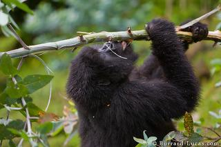 Gorilla Stripping Bark