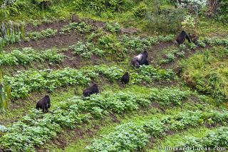 Sabinyo Gorillas in a Field