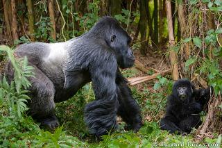 Silverback & Baby