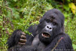 Silverback Eating Thistles