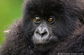 Young Gorilla Portrait