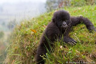 Young Gorilla on Slope
